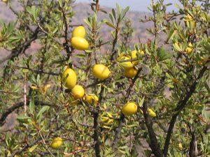 Essaouira_arganier_fruit_(1)_1266